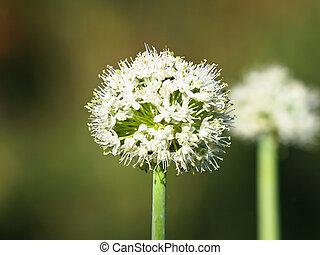 onion flower in thw summer garden