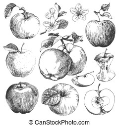 Apples. - Collection of highly detailed hand drawn apples.