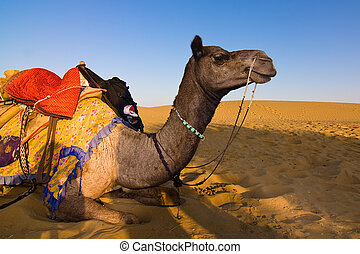 Camel in Thar desert - Camel on safari - Thar desert,...