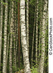 Birch tree trunks in a forest in summer