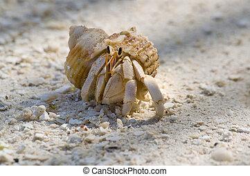 Amusing hermit crab - Close up image of Common hermit crab...