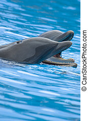 Whistling Bottlenose Dolphins - Close up picture of two...