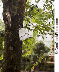 White Morpho Butterfly - A white morpho butterfly rests on a...