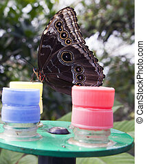 Owl butterfly feeding from bottle caps.