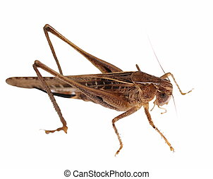 Brown Grasshopper isolated on white background