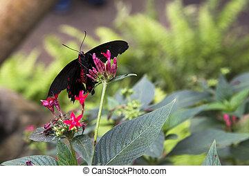 Postman butterfly (Heliconius melpo - Postman butterfly...