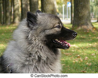 Keeshond portrait - Happy keeshond portrait in the park in...