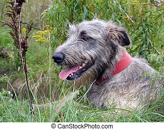 Irish wolfhound - Young friendly irish wolfhound portrait