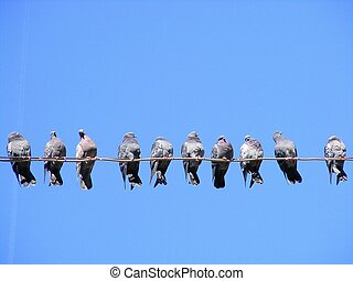 Flock of pigeons on the wire - Flock of street pigeons...