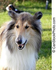 Rough collie barking - Tricolour rough collie barking at the...