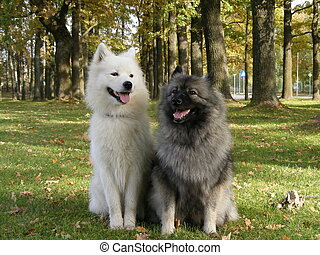 Samoyed and keeshond in the park - Two cute fluffy dogs -...