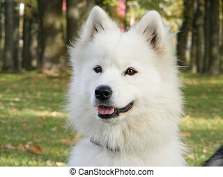 White samoyed - Cute smiling samoyed portrait in the park