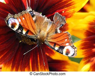 Peacock butterfly with injured wing - Beautiful european...