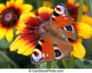 Peacock butterfly - Colorful european peacock buttefly on...