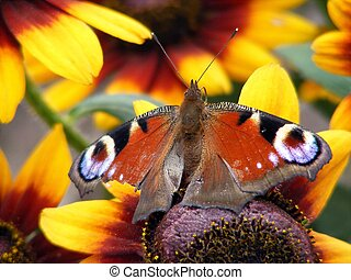 Peacock butterfly with injured wing - Colorful european...