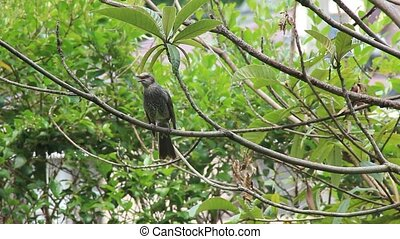 brown-eared bulbul - This is a brown-eared bulbul.