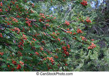 Rowanberry - Branches of mature mountain ash