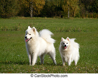 Two white fluffy dogs - White samoyed and japanese spitz...