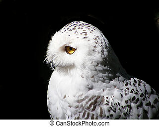 Snowy owl - Snow owl with yellow eyes isolated on black...