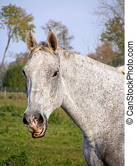 Gray horse smiling - Gray smiling horse portrait in summer...
