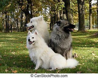 Three fluffy spitzs in the park - Samoyed, keeshond and...
