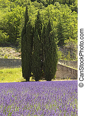 Three pine trees standing in lavender fieldProvence, France...