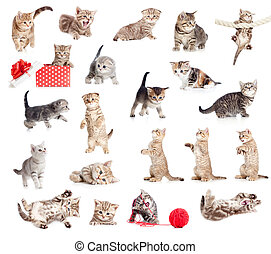 British baby cats collection isolated on white