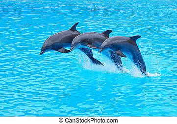 Leaping Bottlenose Dolphins, Tursiops truncatus - Three...