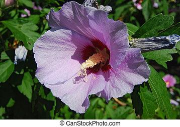 Purple shrub blossom close-up