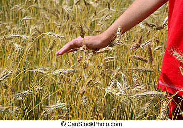 Ripe barley field, person in red, hand stroking - Manwoman...