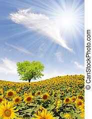 sunflower field - spring landscape with sunflower field
