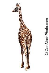 giraffe isolated on white