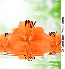 orange lily on green natural background