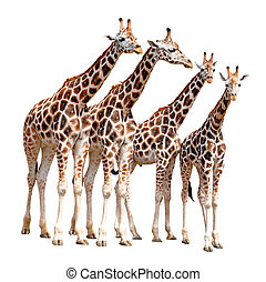 giraffes - herd of giraffes isolated