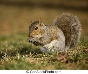 Nibbling squirrel - Tree squirrel on the grass that is...