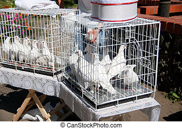 White doves in the coop