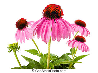 Coneflowers isolated on white background