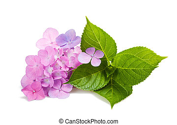 Hortensia flowers and leaves isolated on white