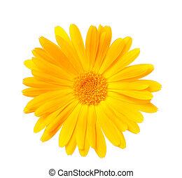 Calendula flower on white background