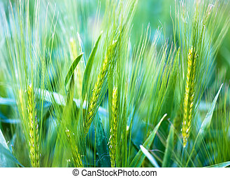 Ear of wheat - soft background