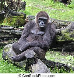 Gorilla Sitting On The Tree
