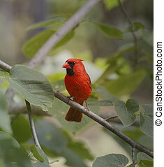 Cardinal Bird - Bird, Northern Cardinal, Male On A Branch