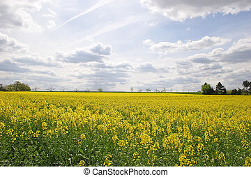 Canola Field - Blooming canola field with trees in the...