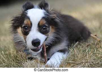 Miniature Australian Shepherd puppy dog chews on a stick in...