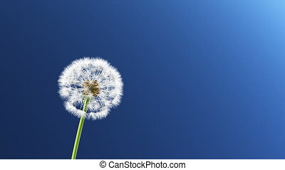 Dandelion, 3d animation