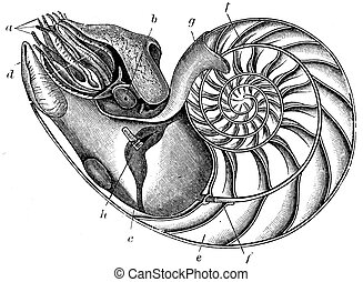 Nautilus pompilius - an illustration to article Flabby and...