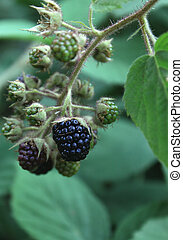 blackberry bush from the forest - sweet ripe blackberry bush...