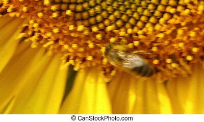 Bee in sunflower