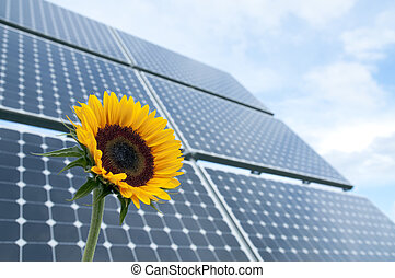 Sunflower and solar panels - Sunflower with solar panels in...