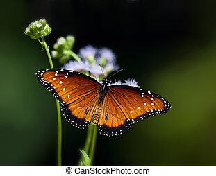 Queen butterfly Danaus gilippus resting on flowers